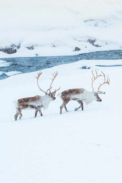 and we think we struggle - with our extra protective clothing, heated cars and homes... | Reindeer on ice