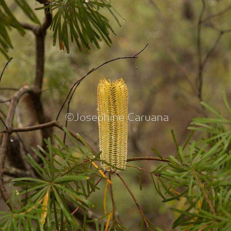 Australian Flower - Bottle Brush