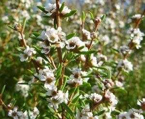 Taxandria parviceps  Tea Tree