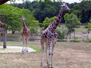 giraffe - Come to the Cape May Zoo - it's Free