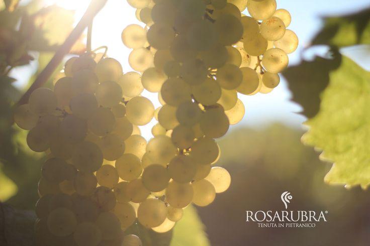 I nostri grappoli hanno il sole dentro. Our grapes have the sun inside.