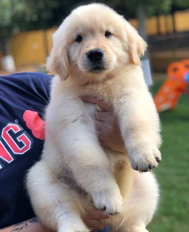 Dasher Puppies Golden Retriever Rescue