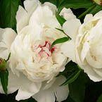 Fotos de preciosas flores de peonias