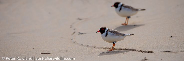 #Hooded #Plovers are threatened in #Australia #aus_wildlife