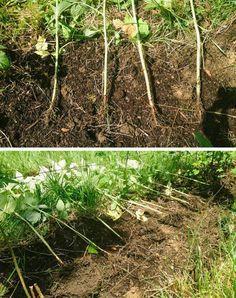 Лучший метод посадки малины. Траншейный метод посадки малины – это высадка саженцев культуры в тщательно подготовленную почву, но не в ямы, как это обычно принято, а в траншеи. Способ этот хлопотный, готовиться к нему необходимо заранее, однако затраченные усилия и время стоят конечного результата. Фото: © Natalie