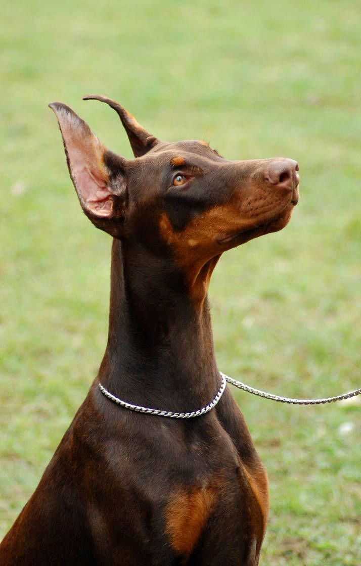 Find Out More On The Alert Doberman Puppies Grooming