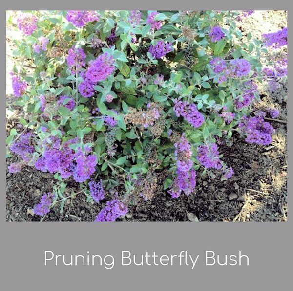 Pruning Buddleia Butterfly Bush Butterfly Bush Butterfly Bush Care Pruning Butterfly Bush
