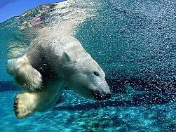 paisajes del agua animales nadan bajo el agua osos polares fondo de pantalla 1920x1200