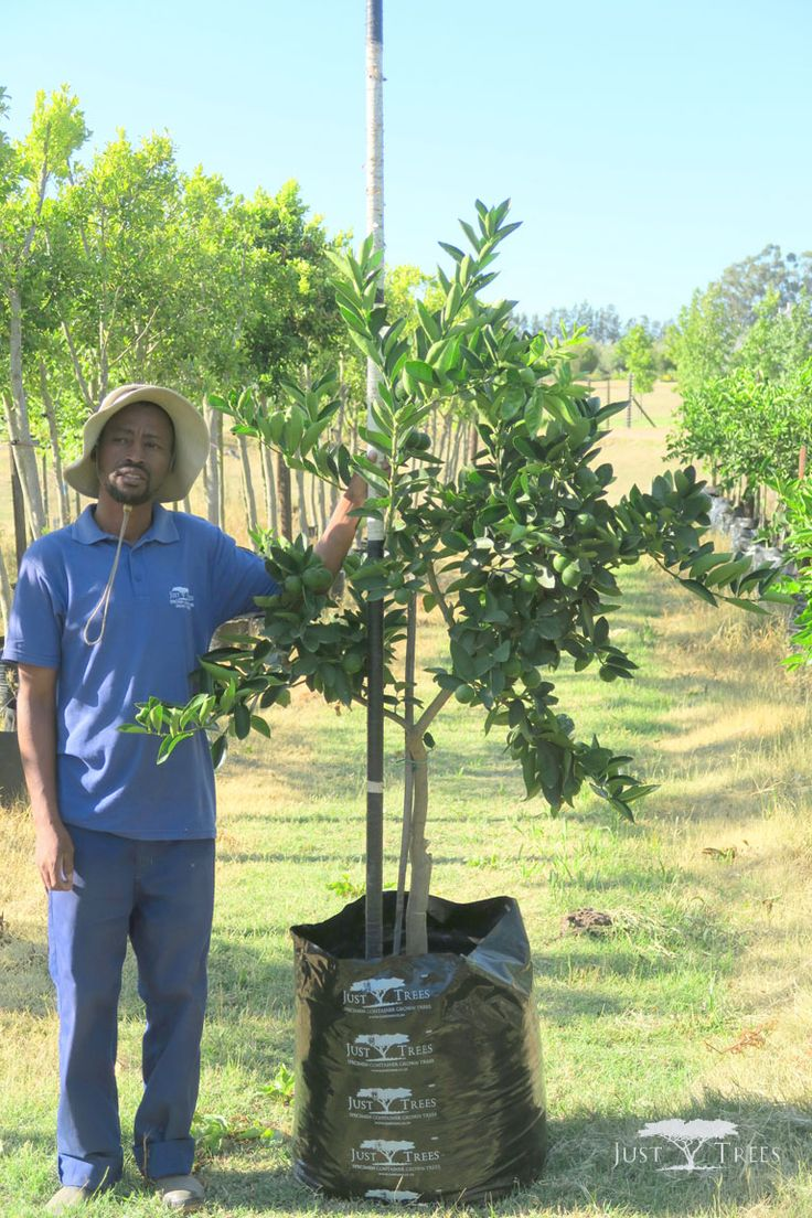 100L Tahiti Lime. One the most commonly cultivated lime species for commercial use, the Tahiti Lime also has fragrant and spicy aroma. The medium to large tree is almost thornless and is an attractive addition to any landscape.