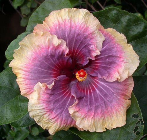 Tropical hibiscus 'Tahitian Rainbow Envy'