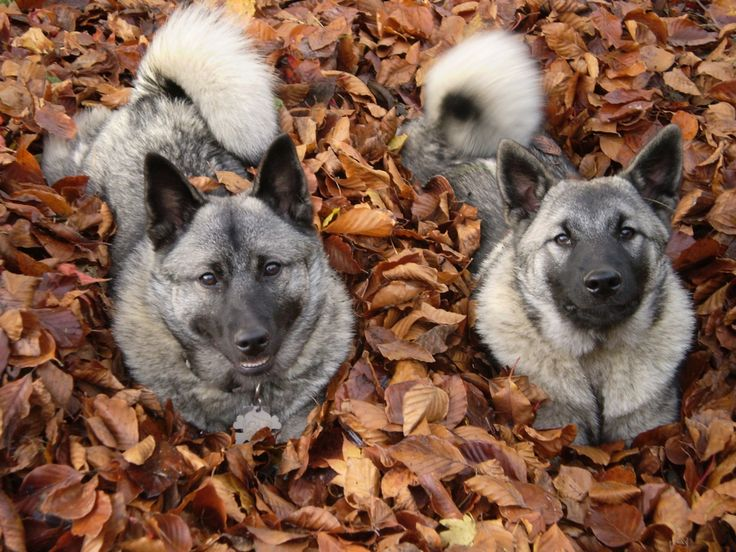 Stop the presses! FAR TOO CUTE FOR WORDS. #elghund #elkhound
