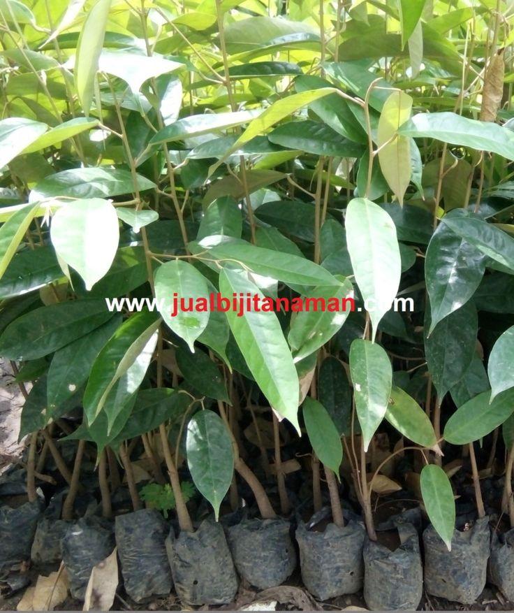 Jual Bibit Durian Seedling Murah