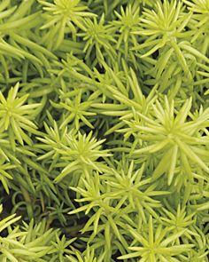 21 best Sedum images on Pinterest | Succulents, Succulent plants and Zone Garden Design Succulents on garden designs zone 6, garden designs zone 3, garden designs zone 7,