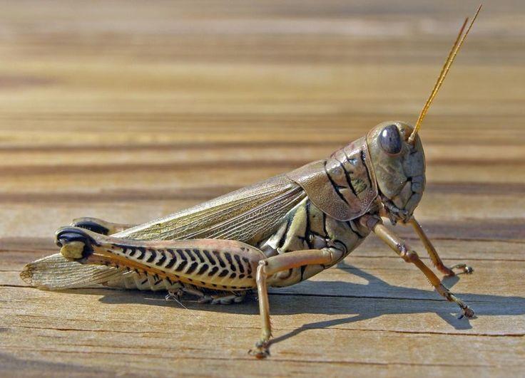 CÓMO AFECTA EL CHAPULÍN A LOS CULTIVOS. El #Chapulín es un #Insecto ortóptero saltador que puede alcanzar hasta los 12 centímetros de largo dependiendo de la especie y de la variedad; su cuerpo está dividido en tres partes: cabeza, tórax y abdomen. Este insecto tiene generalmente ojos grandes, antenas y el aparato bucal de tipo masticador... Lee más dando click en la imagen.