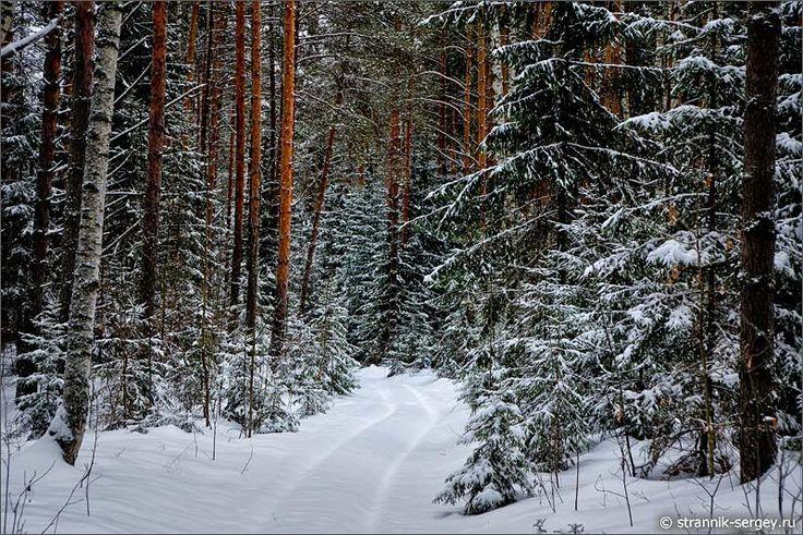 Еловый и сосновый бор под снегопадом