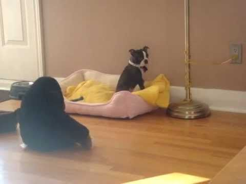 LAUGH FOR HOURS! Cute Brindle Boston Terrier Puppy Terrified of Stuffed ...
