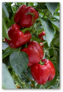 Growing peppers.     Peppers hate nitrogen/commercial fertilizer. Wait until plants flower before fertilizing. Then spray leaves with 1 tsp of Epsom salt to 1qt of water (peppers need Magnesium to set fruit).   Peppers also enjoy small amounts of potassium (wood ashes).