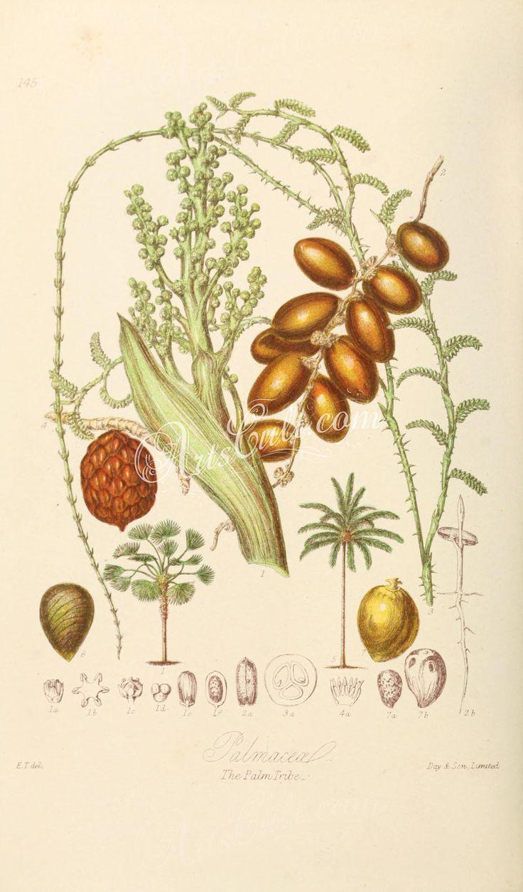 145-chamaerops humilis, phoenix dactylifera, calamus palustris, sagus rumphii, cocos nucifera, phytelephas macrocarpa, elais   ...