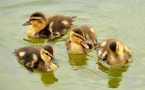 Mallard Ducklings, Swimming, Portrait