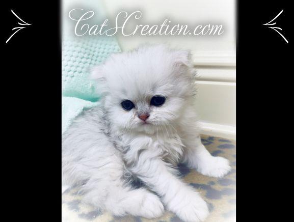 Teacup Kittens For Sale Persian Kittens Florida Doll Face In 2020 Teacup Kitten Teacup Kittens For Sale Persian Kittens