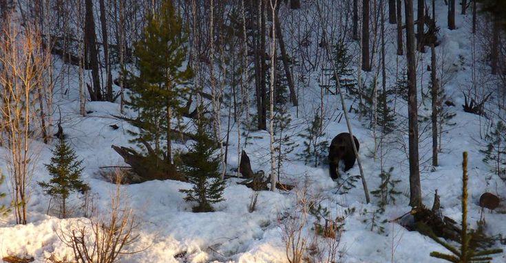 Brown Bear hunting in Russia (Охота на медведя на Байкале)
