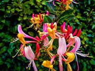 Image result for honeysuckle