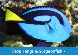 Saltwater Fish For Sale For Marine Aquariums | thatpetplace.com