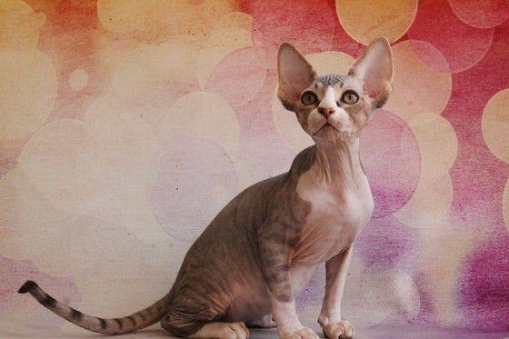 "Sphynx Cats Kittens, NADA Sphynx, Devon Rex, Lykoi, Donskoy, Sphinx, esfinge, sphynx cats for sale, hairless cats for sale, sphynx kittens, sphynx breeders, sphynx for sale, sphynx kittens for sale, sphynx cat breeders, hairless cat breeders, hairless cat adoption, sphynx cat adoption, buy hairless cat, sphynx Florida, sphynx ontario, canadian sphynx, curly coated, werewolf,  <meta name=""msvalidate.01"" content=""7492326A8260D797C9DA38294CD6E8C5"" /> Spri..."