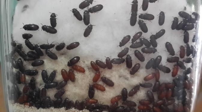 Khasiat dan Manfaat Semut Jepang