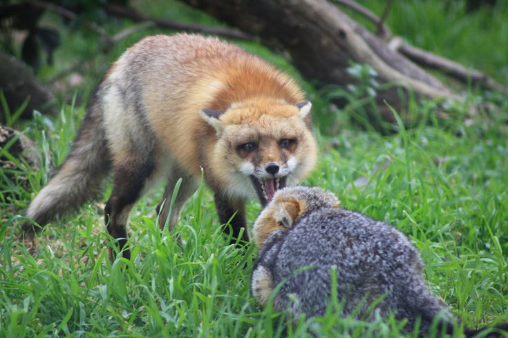 Red fox - Wikipedia, the free encyclopedia