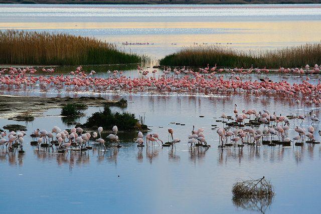 Flocks of flamingos through the Trans Karoo , South Africa.