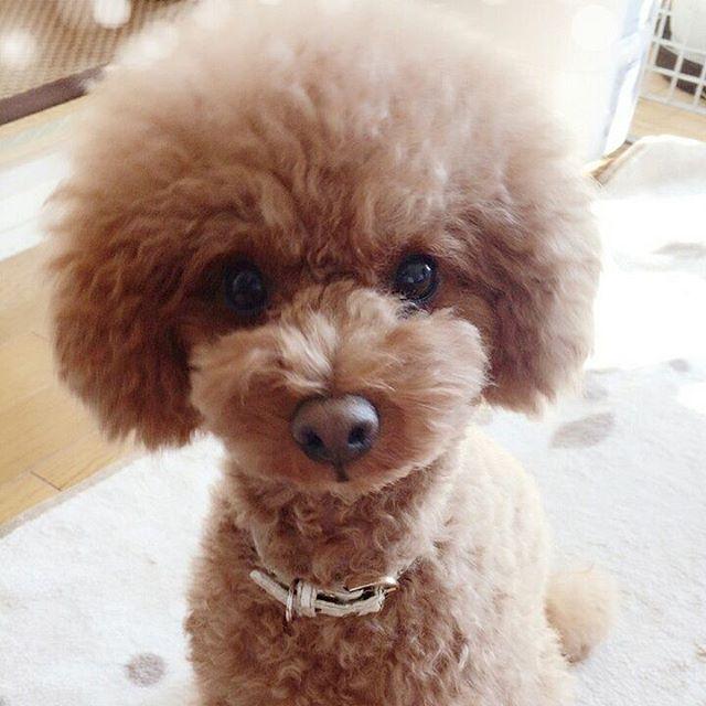 ここ🌻 おはようございます💕今日もりり&ここは、すごーく元気です😄ここのアップ写真🌟バッチリ❤  #トイプードル #トイプードル部 #トイプードル大好き #といぷー #犬 #犬バカ部 #いぬ部 #ふわもこ部#トイプードルアプリコット#トイプードルレッド#愛犬#多頭飼い#ふわもこ部#toypoodle#toypoodlestagram #dogstagram #petstagram #dog  #instadog #instapoodle #toypoodlelove