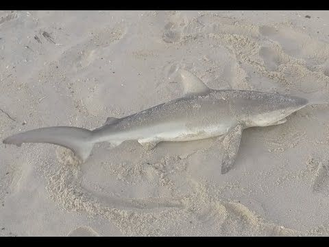 21 best images about shark fishing on pinterest surf for Jones beach fishing