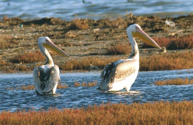 Amvrakikos gulf – Αμβρακικός κόλπος, Dalmatian Pelican, Αργυροπελεκάνος