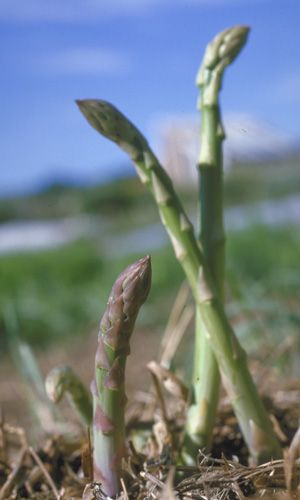 How to Grow Asparagus: Organic Gardening