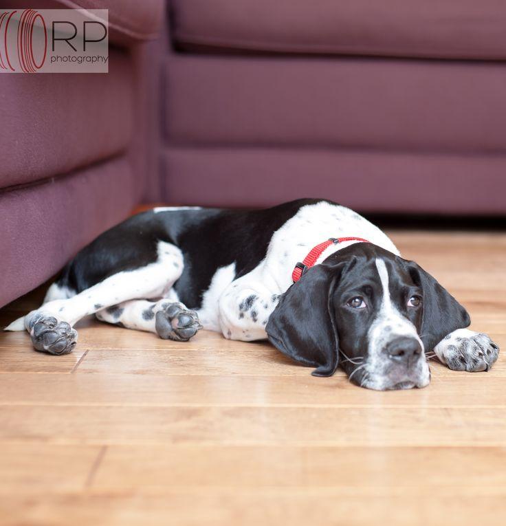 English #Pointer #Puppy #Dog
