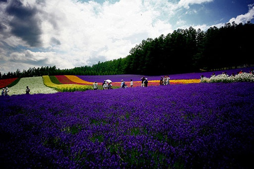 Des champs de lavande au Japon !Furano Lavender Fields are one of the most famous in Japan, located in Furano, Hokkaido! http://everything-about-japan.blogspot.fr #japon #japan #champs #lavande