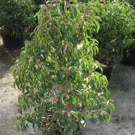 Laurier du Portugal 'Augustifolia' - Plantes et Jardins
