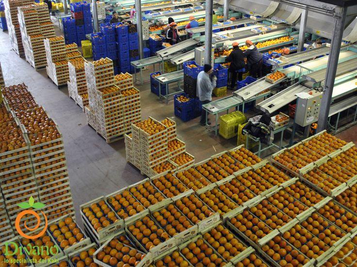 La selezione/calibrazione dei Kaki (Persimmons) presso il nostro stabilimento. Info: www.divanosrl.it