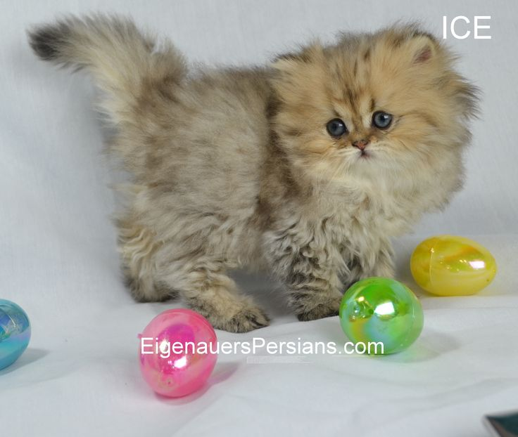 Persian kittens for sale in green bay wisconsin