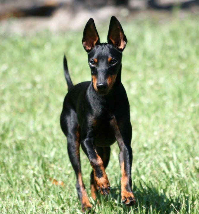 Toy Manchester Terrier Great running dog if needed a small dog for an apartment