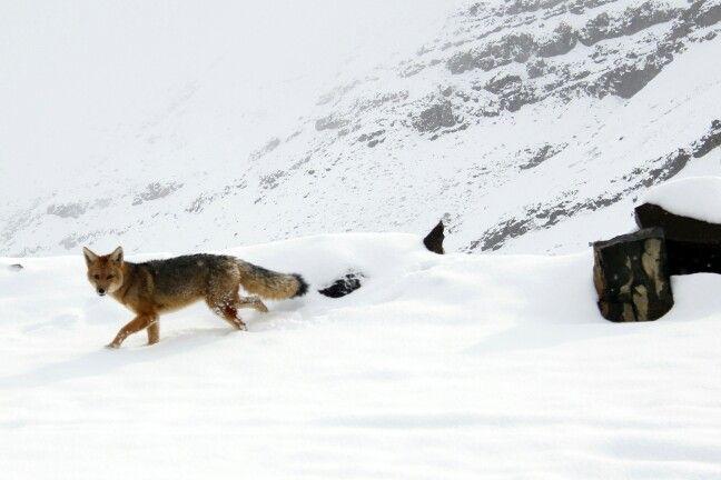 Zorro - valle nevado Chile