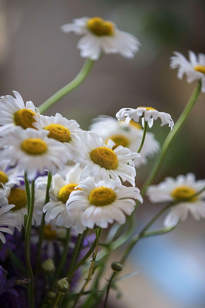 Луговые цветы. Ромашки. фото: Ирина Майсова/ Усадьба Грибаново. Россия. #photoMIRA #flowers, #wildflowers, #bouquetflowers, #nature, #ecology,#camomile