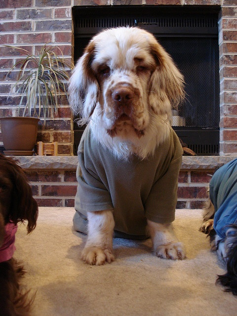 Clumber Spaniel Dog That's it I am ready for sleeping :D Put mine pajamas on :)))