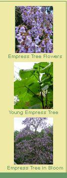 Empress Trees | Burnt Ridge Nursery & Orchards