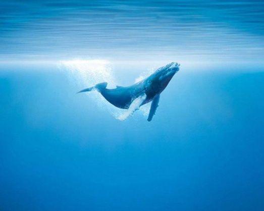 Горбач (горбатый кит) в океане