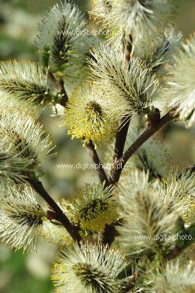 Lente natuurfotografie, bloeiende bomen, wilg (Salix caprea)