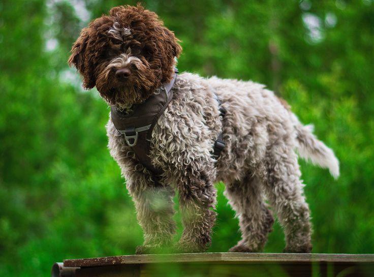 Comfort Walk Pro Harness from DOG Copenhagen - Mocca
