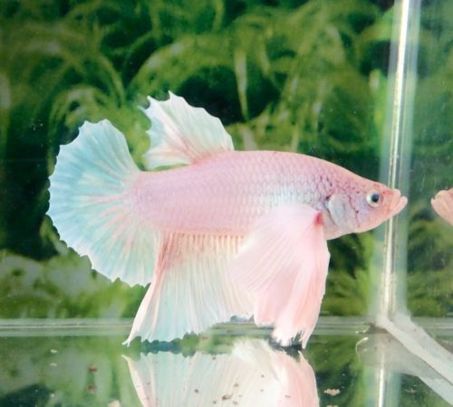 I just adopted a beautiful white Betta today! He's so elegant that I decided to name him Prince Von Opal! Haha!