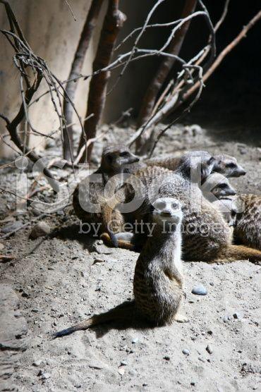 Slender-Tailed Meerkats - Calgary Zoo royalty-free stock photo